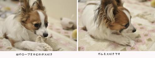 パピヨン・カミーユ生後7ヶ月