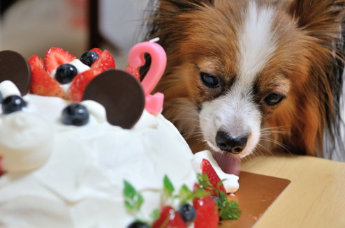 パピヨン・カミーユとケーキ