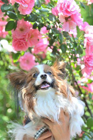ピンクのバラとカミーユ